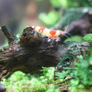 Red Bee PRL Bienengarnele, Red Bee PRL, Brilliant Bees