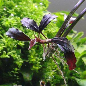Bucephalandra Brownie ´Satan´
