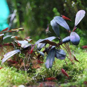 "Bucephalandra Copi Susu, Bucephalandra sp. ""Copi Susu"""