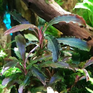 Bucephalandra sp. ´Kedagang´, Bucephalandra sp. Kedagang, Bucephalandra sp Kedagang