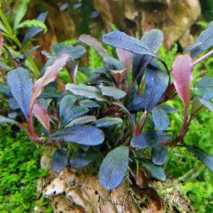 Bucephalandra Brownie metallica, Bucephalandra sp. Brownie metallica