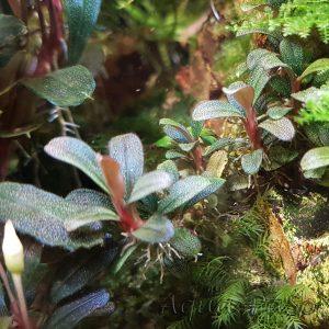 Bucephalandra sp. ´Mini Coin´, Bucephalandra sp Mini Coin