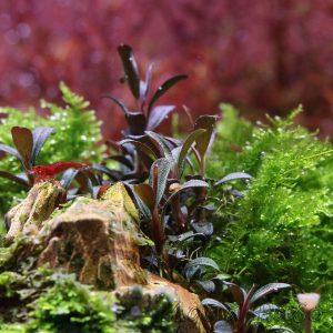Bucephalandra sp. ´Mini Coin´, Bucephalandra sp Mini Coin, Shop Aqua-PaSo
