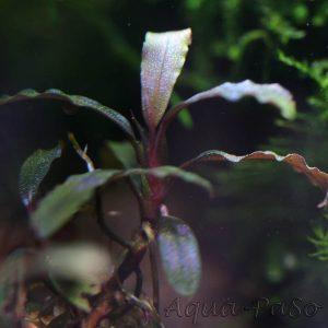 Bucephalandra motleyana Black Purple