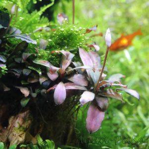 Bucephalandra motleyana braun rot