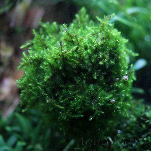 Callicostella sp. `Pancuraji`, Callicostella Pancuraji Moss
