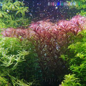 Rotala rotundifolia, rundblättrige Rotala