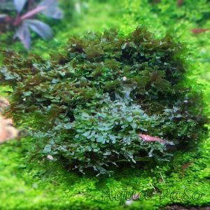 Wave Moss, Wave Moss, Microsorum pteropus Prothallium - Wave Moos, Loxogramme sp. Wave Moss
