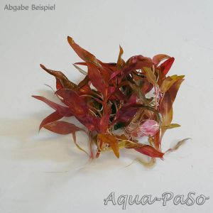 Alternanthera reineckii `Mini`, Mini Papageienblatt, Alternanthera reineckii Mini