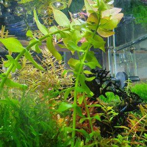 Bacopa caroliniana, großes Fettblatt