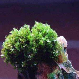 Fissidens sp. `Miroshaki`, Fissidens, Rarität, Aquascaping